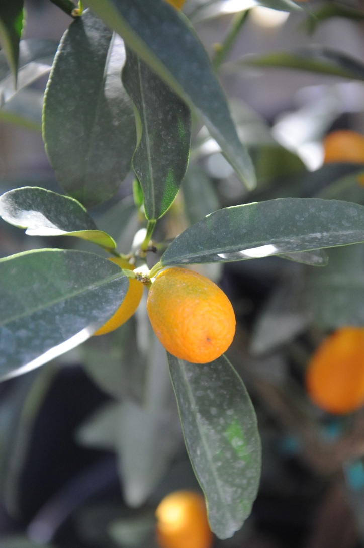 TP Citrus Tree